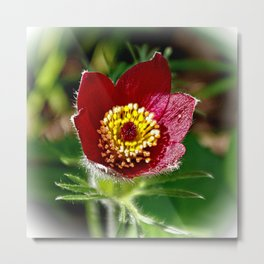 Red pasque flower Metal Print