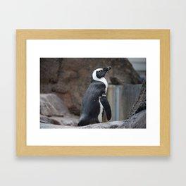 National Aviary - Pittsburgh - African Penguin 2 Framed Art Print
