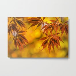 Maple in the gold fall Metal Print