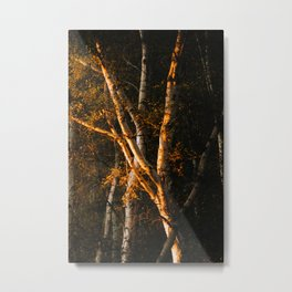 Silver Birch Bark In the Sunlight Metal Print