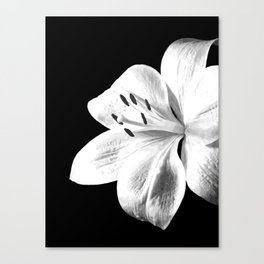 White Lily Black Background Canvas Print