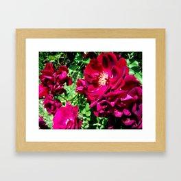 Crimson Roses Framed Art Print