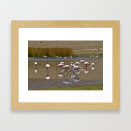 Chilean Flamingo (Phoenicopterus chilensis) Framed Art Print