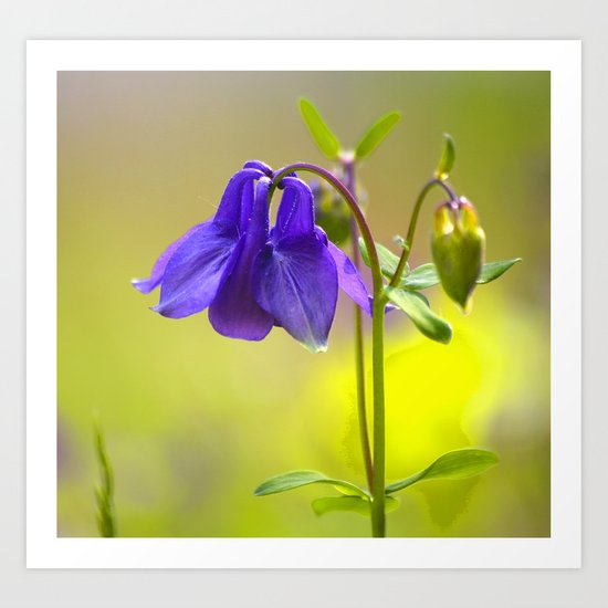 Purple Columbine In Spring Mood Art Print