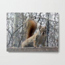 Red Squirrel Watching Metal Print