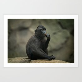 Celebes Crested Macaque Youngster Art Print