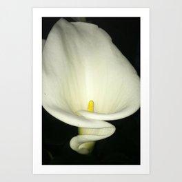 Gorgeous White Calla Lily Art Print