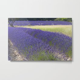 Lavender Fields of Provence Metal Print