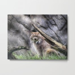 Canadian Lynx - Erie Zoo -Erie, PA Metal Print