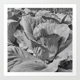 Noonday Farm Cabbage Art Print
