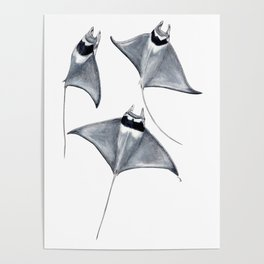 Devil fish Manta ray Mobula mobular Poster