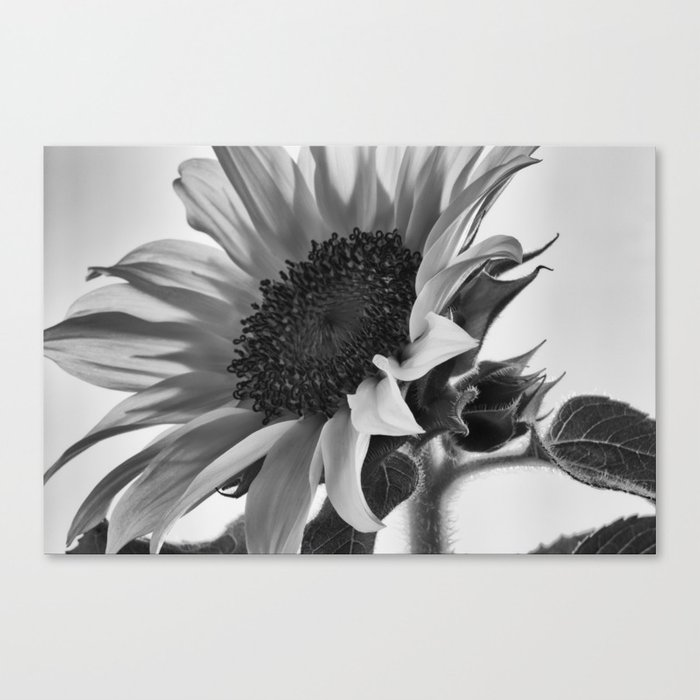 Sunflower Black White Canvas Print By Vintageby2sweet Society6