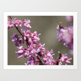 Redbud Flowers Art Print