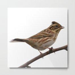 Rustic Bunting Bird Vector Isolated Metal Print