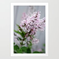 Dwarf Korean Lilac Art Print