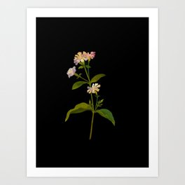 Saponaria Officinalis Mary Delany British Botanical Floral Art Paper Flowers Black Background Art Print
