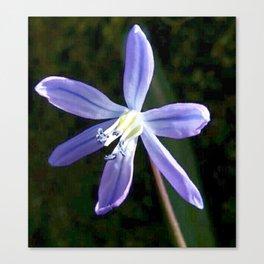 Scilla Blossom Canvas Print