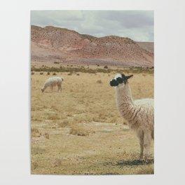 Lama Pampa bolivie Poster