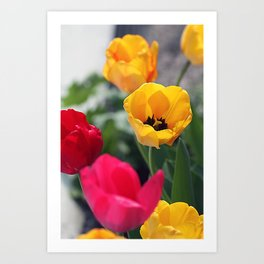 Сolorful tulips Art Print