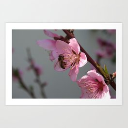 Honey Bee On Open Peach Tree Blossom Art Print