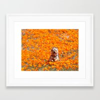 minnie Framed Art Prints featuring Yorkie in Poppies by Sue Liberto Photography