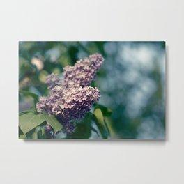 Syringa vulgaris lilac Metal Print