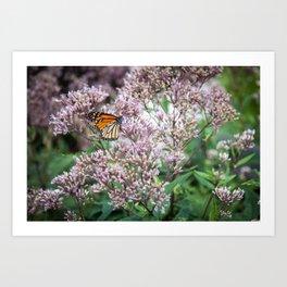 Monarch on Blossoms Art Print