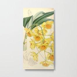 Dendrobium chrysotoxum Metal Print