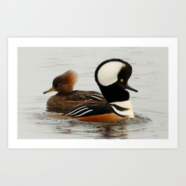 A Tale of Two Hooded Mergansers Art Print