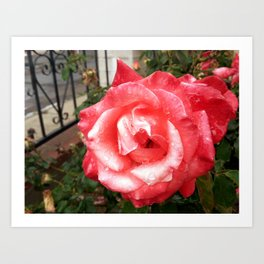 Rainy Day Rose Art Print
