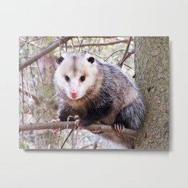 Possum in a Tree Metal Print