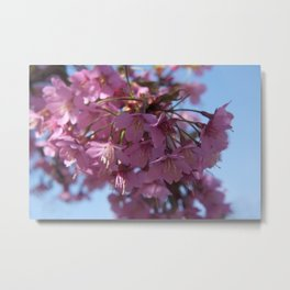 Prunus kursar - the signs of spring Metal Print