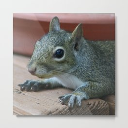 Baby Grey Squirrel Metal Print
