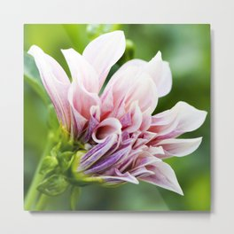 Cafe Au Lait Dahlia in Bloom Metal Print