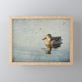 Female Northern Shoveler Duck Facing the Light Framed Mini Art Print
