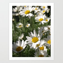 SUN WORSHIPPING WHITE DAISY FLOWERS Art Print