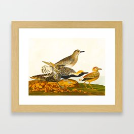 Grey plover John Audubon vintage scientific bird illustration Framed Art Print
