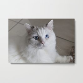 Ragdoll Cat Blue Eyes Metal Print