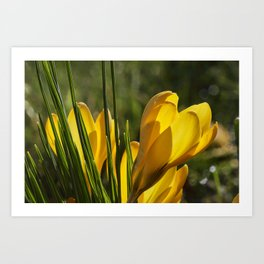 Golden orange crocuses in spring Art Print