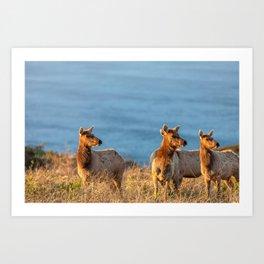 Tule Elk Cows II Art Print