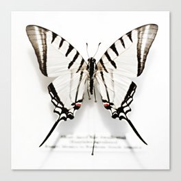 BUTTERFLY   FIG. 01 Canvas Print
