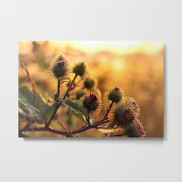 thistle with morning dew Metal Print