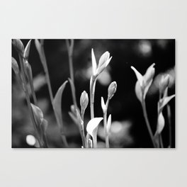 Hosta Buds and Stems Canvas Print