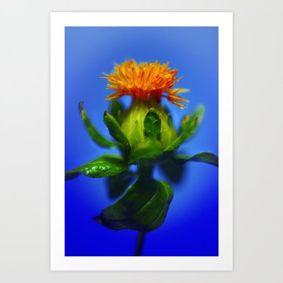 Safflower with blue background Art Print