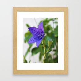 Japanese Bellflower Framed Art Print
