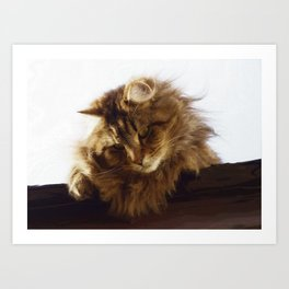 Curious Maine Coon Cat Art Print