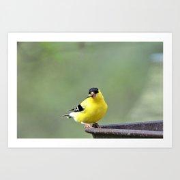Yellow Finch Art Print