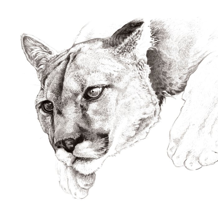 Sketch Of A Captived Mountain Lion Comforters