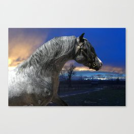 Welsh Pony Stallion Canvas Print