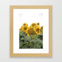 Sunflower Fields Framed Art Print